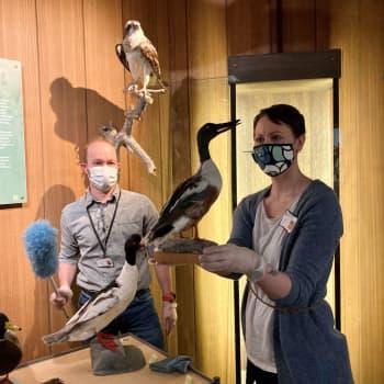 Luonnontieteellisen museon siivouspäivässä heiluvat pölyhuisku ja pöllönsulka - Piikkisian puhdistamisesta ei synny kilpailua
