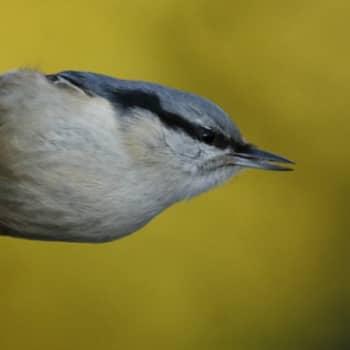 Viikon luontoääni: Pähkinänakkeli 4.9.2011