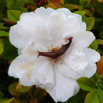 Vilken snigel kryper i rosen?
