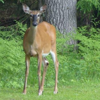 Naturväktarna: Äter vitsvanshjort och rådjur kantareller? Del 1