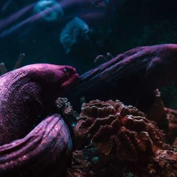 """Den nästan utdöda ålen fortsätter att överraska och tar nu revansch på operan: """"Den är som fiskarnas MacGyver och väldigt unik"""""""