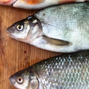 Vildfisken kunde utnyttjas bättre