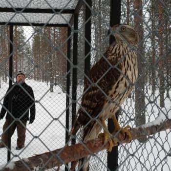Loukkaantunut kanahaukka harjoittelee lentämistä Rovaniemellä - toipuminen on hyvällä mallilla