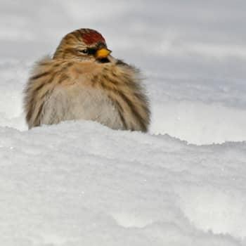 Miten linnut pärjäävät kylminä talviöinä?