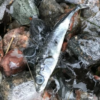 Varför samlas död fisk vid stranden?