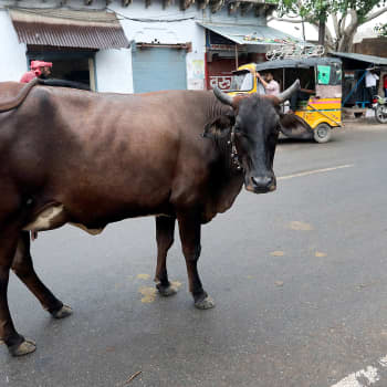 Intiassa taistellaan pyhistä lehmistä