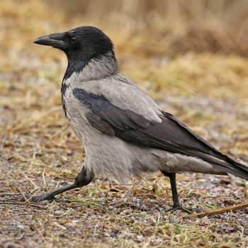 Fågelsångskolan lektion 22: Skata, kaja, kråka och råka.