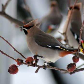 Fågelsångskolan lektion 21: Sidensvans, stjärtmes, korsnäbb och domherre.
