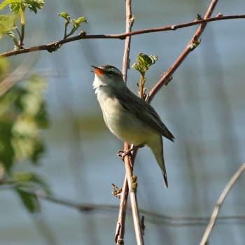 Fågelsångskolan lektion 20: Rörsångare, sävsångare och trastsångare