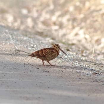 Fågelsångskolan lektion 18: Vaktel, kornknarr, morkulla, nattskärra, gräshoppsångare, flodsångare och vassångare.