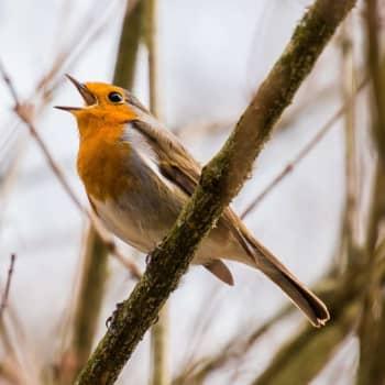 Fågelsångskolan lektion 17: Gärdsmyg och rödhake