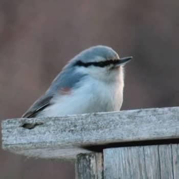 Fågelsångskolan lektion 16: Nötväcka och trädkrypare