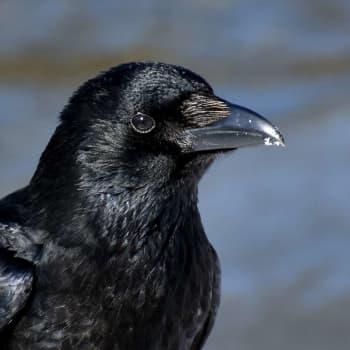 Fågelsångskolan lektion 23: Korp, nötkråka, nötskrika och lavskrika.