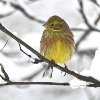 Fågelsångskolan lektion 9: Törnsångare, ärtsångare, gulsparv och hämpling.