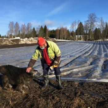 Mikkeliläisen perunaviljelijä Mauno Pulkkisen pellossa peruna kasvaa jo!
