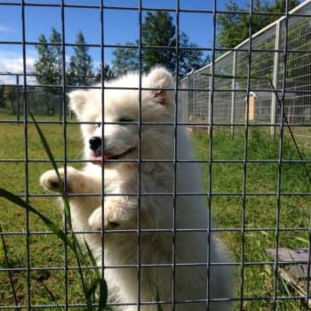 Länsveterinär: Smugglingen av hundar ökat kraftigt under pandemin - och köparen har ett ansvar