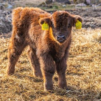"""Mats Eriksson om sina highland cattle-kalvar: """"Nog blir man ju lite pappa åt dem på något sätt"""""""