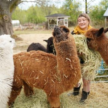 Alpackan Came och hennes kompisar hjälper i terapisamtal