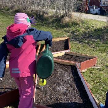 Barnen i Houtskär odlar i byn på sommaren