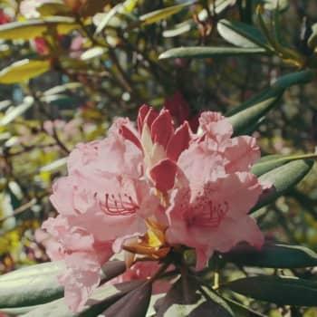 Se vad fint rhododendronparken i Reso blommar!