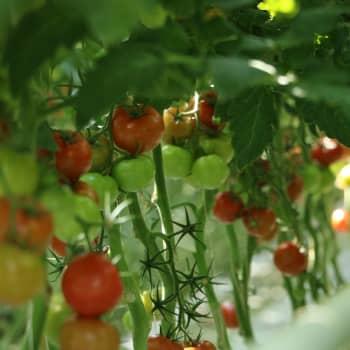 Finska tomatodlare vill ha bättre smakande tomater