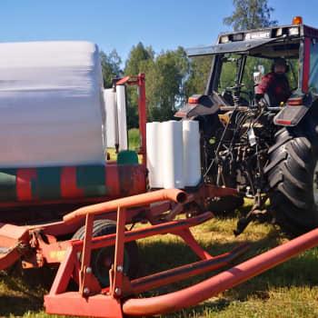 Niin sanottuja traktorin tai jättiläisen munia voi bongata kesäisin monelta pellolta – mutta miten munat syntyvät?