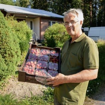 Nu mognar jordgubben i Österbotten - högsäsongen är här