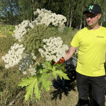 Kotkan Hurukselassa tuhottiin haitallista jättiputkea