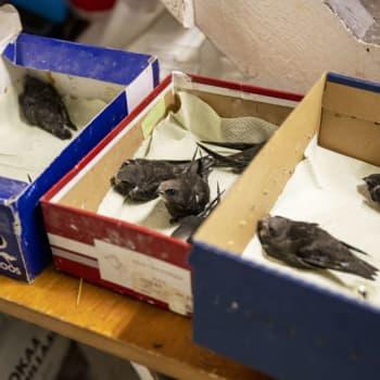 Pyhtään lintuhoitolassa on ollut vilkas kesä - helle on verottanut myös linnunpoikasia