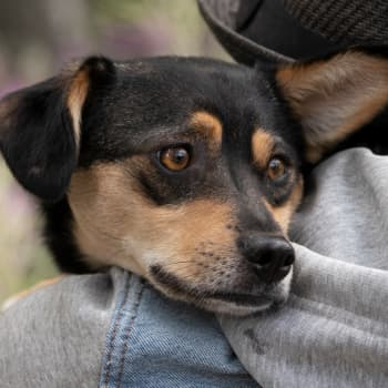 Kotihoitola Kuikku tarjoaa Pepi-koiran kanssa rescue-kokenutta kotihoitoa