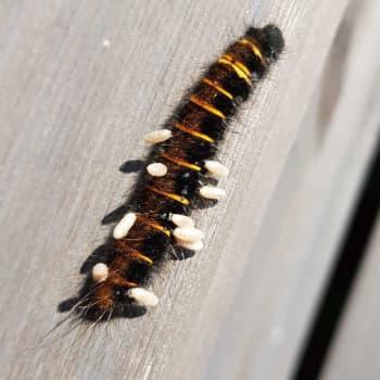 Vad är det som gräsulvslarven har på ryggen?