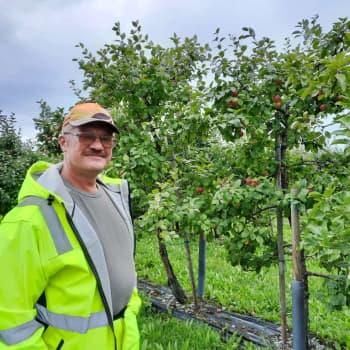 Lemiläinen omenaviljelijä manailee huonoa omenasatoa