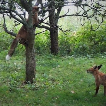 Är det vanligt att rävar klättrar i träd?