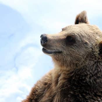 Luonnonsuojeluliiton Pirkanmaan piiri ei vähentäisi alueen karhukantaa