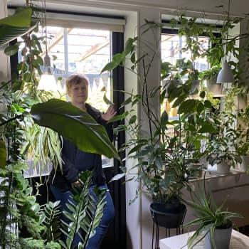Viherkasvit korvaavat verhot pedersöreläisen Lotta Määtän kotona