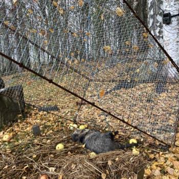 """Markku kyllästyi supikoirien aiheuttamiin pesätuhoihin – """"sorsat olivat melkein kadonneet"""""""