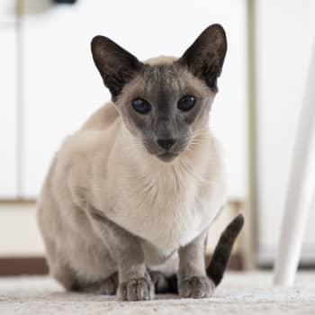 Kattkris