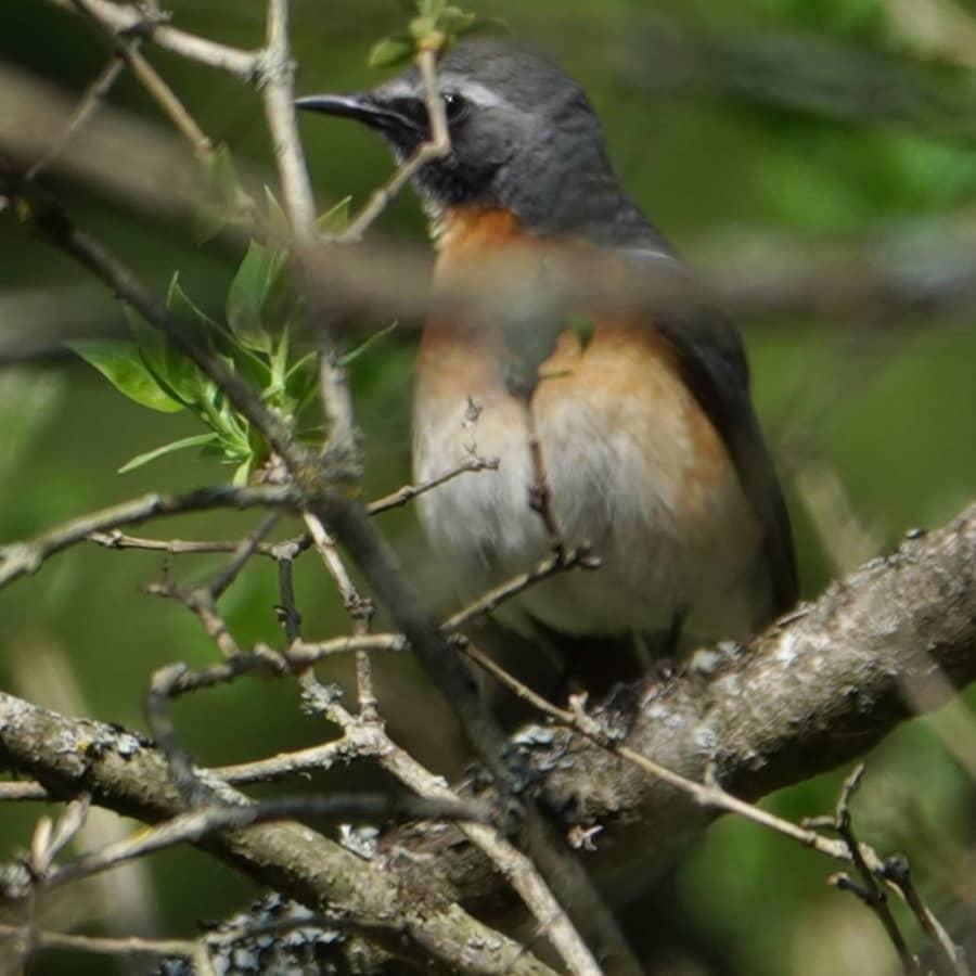 Ny fågelart upptäckt i Finland