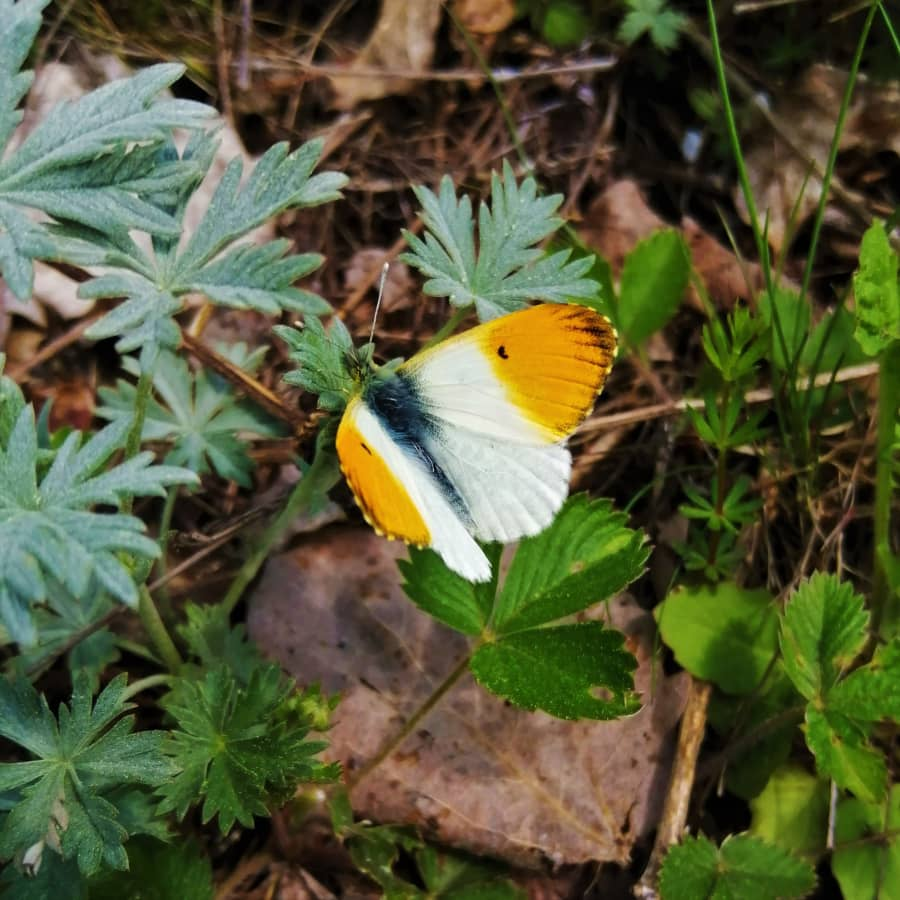 Charlotta Berlin om varför det finns så mycket fjärilar i sommar