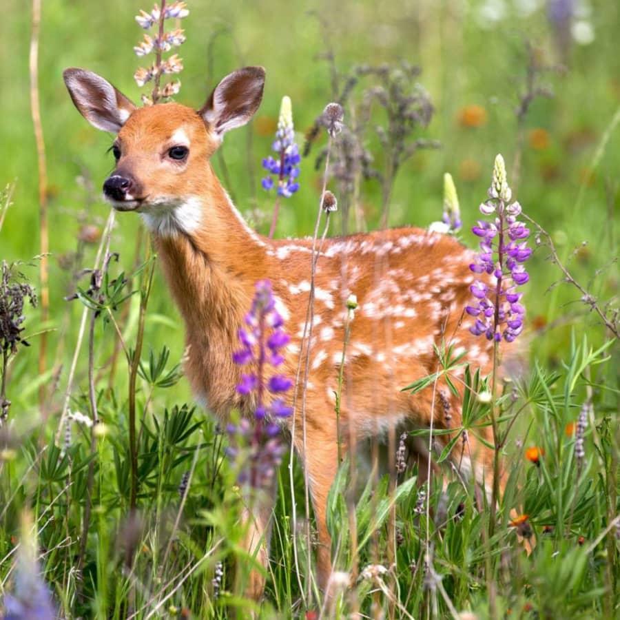 Hjortstammen skenar iväg och orken i jaktlagen tryter - hur stort är jägarens samhällsansvar?