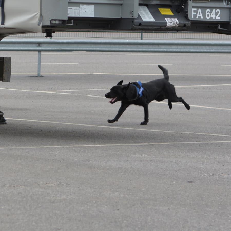 Tullhunden Heila klarar av att söka efter gömda vapen och sprängämnen