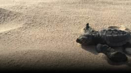 Visar film med sköldpaddor