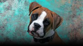 Hempsu, puhuva koira
