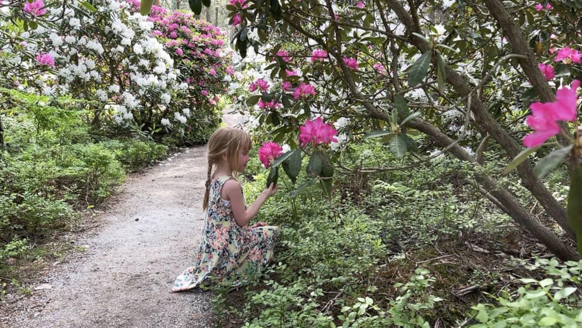 Pieni tyttö ihastelee alppiruusuja Raisiossa.