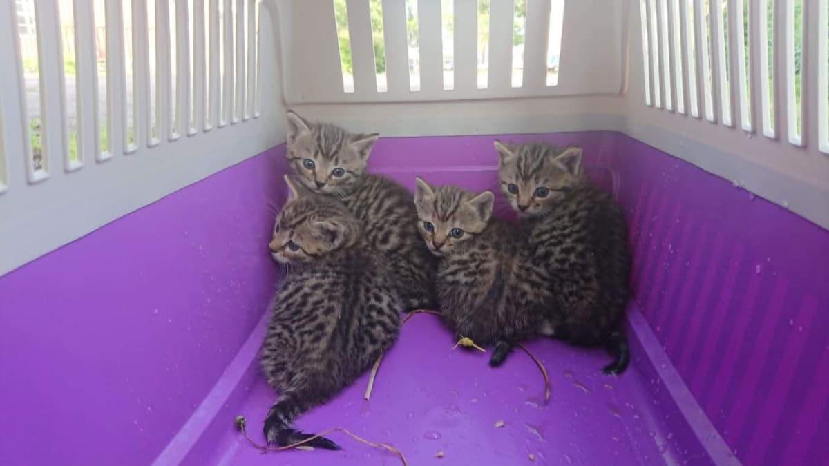 Kissanpentuja laatikossa