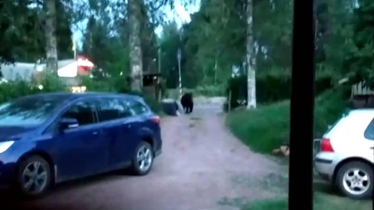 Jessica Eskola kohtasi karhun kotipihallaan Virolahdella – karhu kaatoi roskiksen