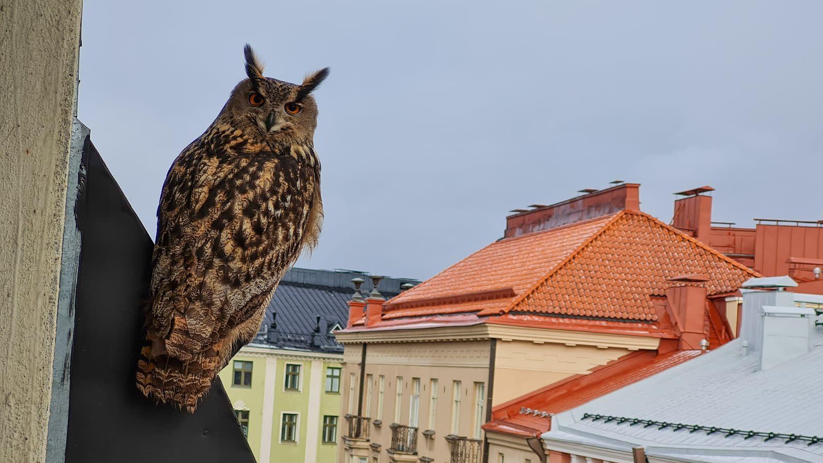 Huuhkaja istuu talon katolla Helsingin Viiskulmassa.