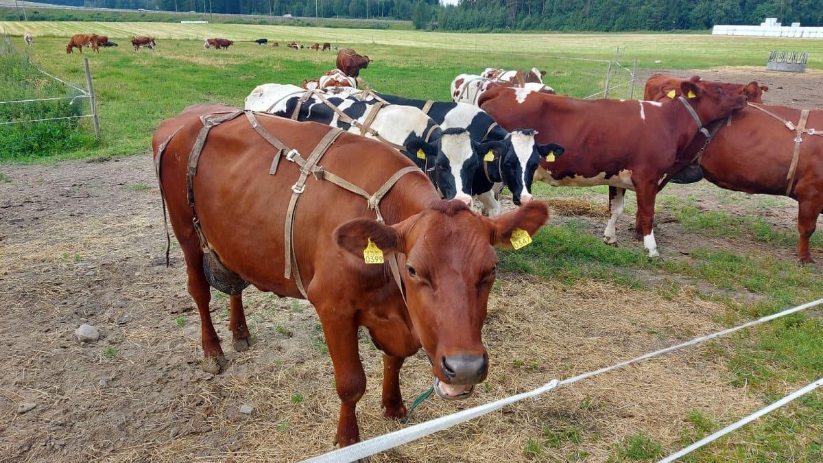 Lehmät kärsivät helteellä lämpöstressistä