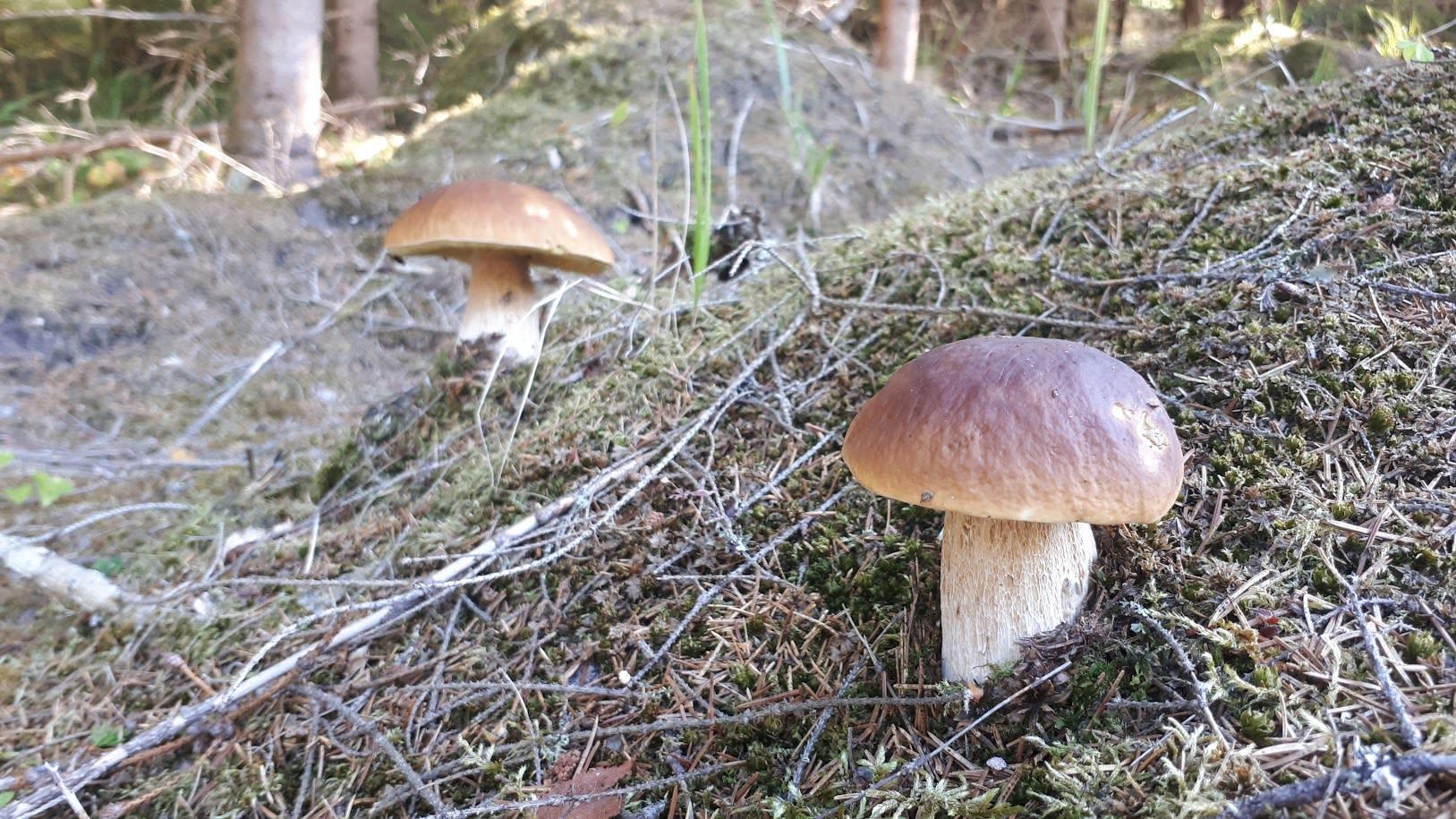 Herkkutatteja metsäisessä maastossa.