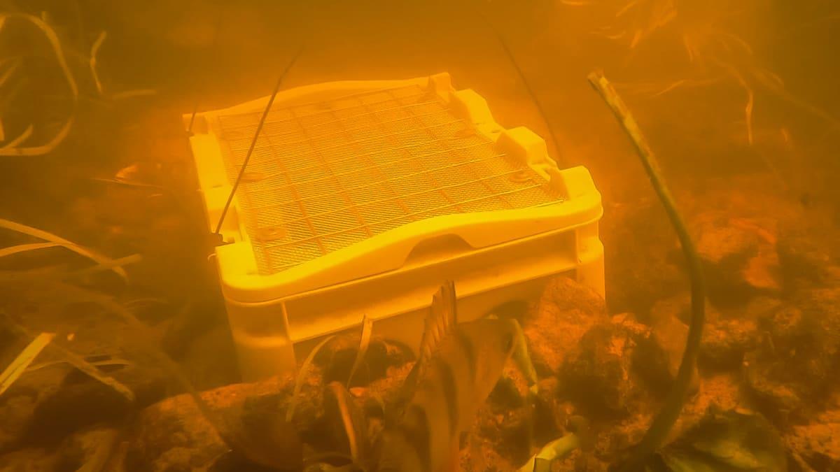 Jokihelmisimpukan poikasten suojalaatikko Mustionjoessa. Kuvakaappaus vedenalaisesta videosta